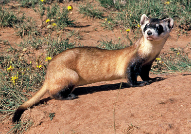 Image result for black footed ferret
