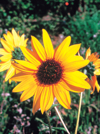 Sunflower (Helianthus species)